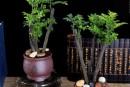 小叶紫檀怎么种植 小叶紫檀日常怎么养护