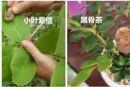 黑骨茶和小叶紫檀的区别  黑骨茶和小叶紫檀怎么区分