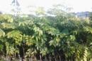 30年黄花梨树值多少钱 价格高不高