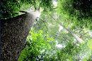 金丝楠木要多少年成材   金丝楠木的生长环境