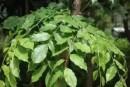 小叶紫檀叶子枯萎脱落后还会再长吗 有什么补救措施