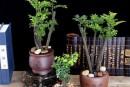 小叶紫檀好养吗怎么养   小叶紫檀怎么种植