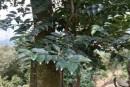 沉香树家里种植方法 家里可以种植沉香树吗