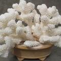 天然的白珊瑚值钱吗   天然的白珊瑚价格