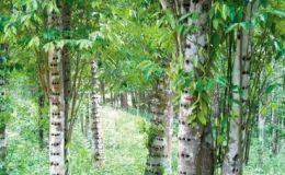 沉香树最新的结香方法 沉香树的条件是什么