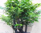 小叶紫檀树苗怎么种植 小叶紫檀树苗图片介绍