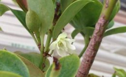 沉香花的作用及食用方法    沉香花的药效价值