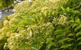 黃花梨樹的辨別方法 黃花梨樹特點