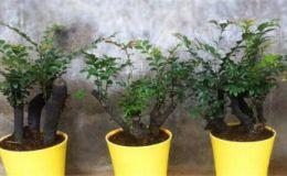 小叶紫檀怎样栽种和养护方法 小叶紫檀养殖方法