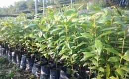 盆栽金丝楠木叶子变干    盆栽金丝楠木叶子变干 的原因