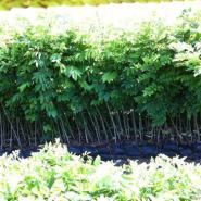黄花梨树苗图片 黄花梨树苗贵的原因