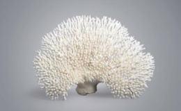 什么样的白珊瑚最值钱 白珊瑚价格是多少