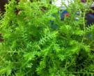珊瑚草的功效与禁忌 珊瑚草是什么