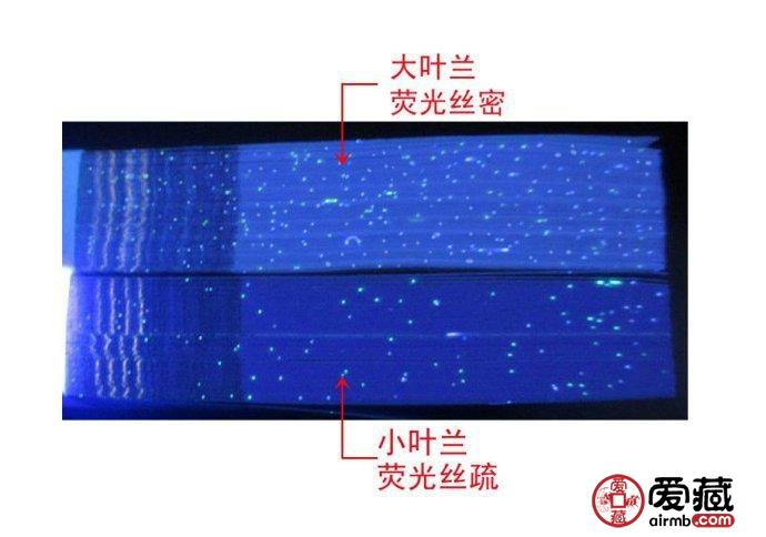 大叶兰和小叶兰的荧光丝侧面辨别图
