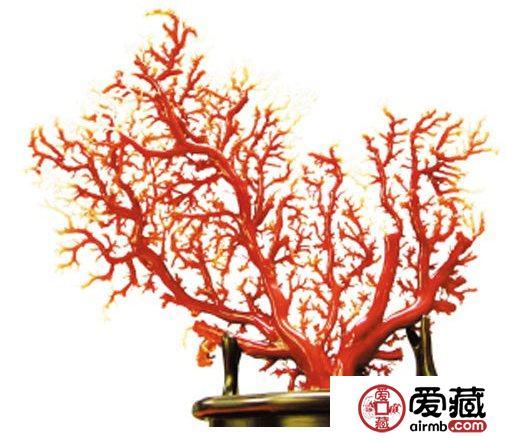 日本红珊瑚