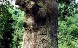 金絲楠木樹葉子圖片  金絲楠木產地