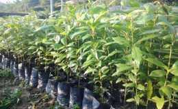 金丝楠木种子怎么催芽    金丝楠木种子催芽方法