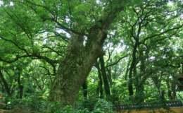 菩提树图片  菩提树的典故