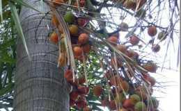 狐尾椰子果实有什么用  狐尾椰子果实可以吃吗